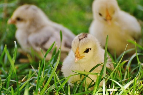 Is your chicken lonely? Why you should never raise just one chicken, and what to do if you already are!