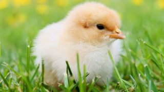 Breed Spotlight: Orpington Chicken
