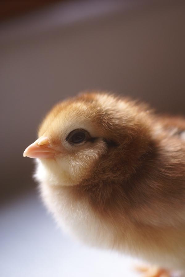 An orange chick
