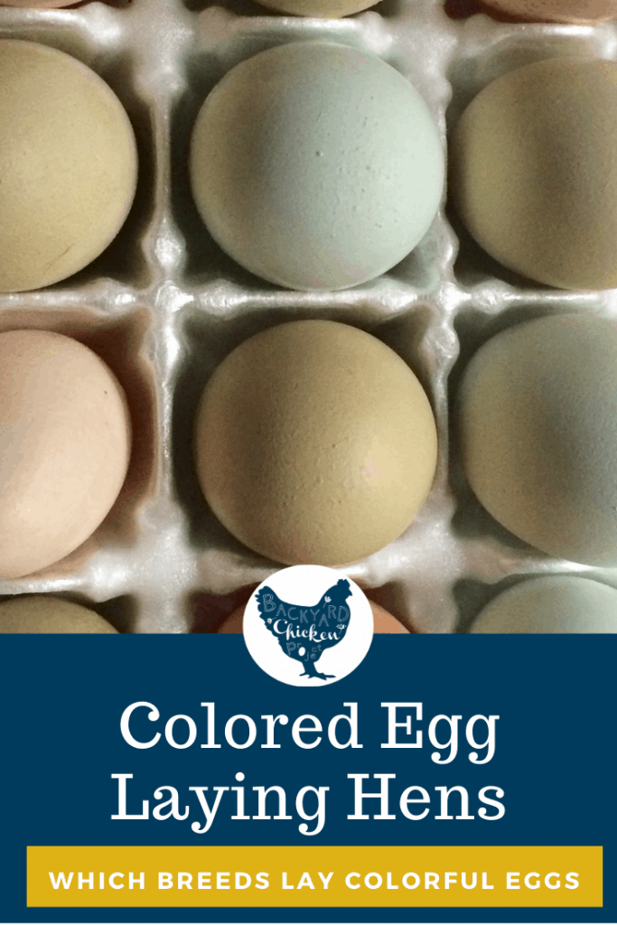 Do you want to collect a basket full of colorful eggs from your flock? Find out which chickens lay colored eggs!