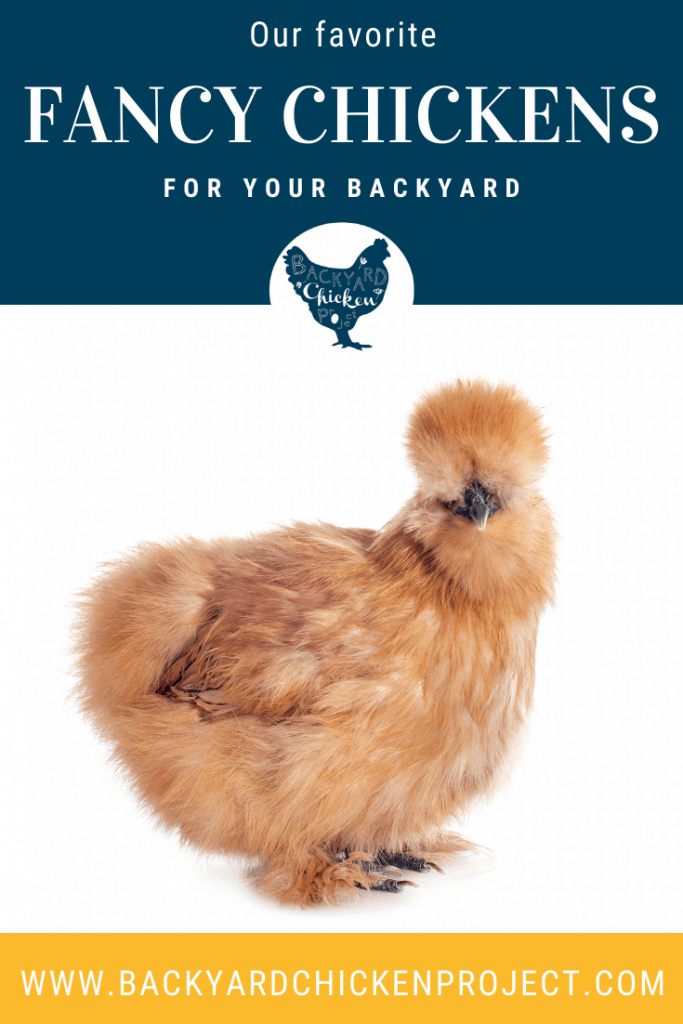 Fancy chickens are so much fun to add to your backyard flock. A pair or two of these unusual breeds can not only make for quite the conversation starter but can be visually stunning or quirky according to which breed you pick.