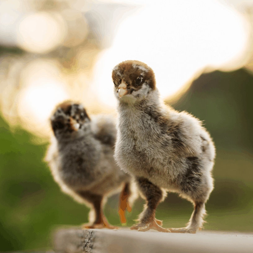 Two brown chicks on a log outside