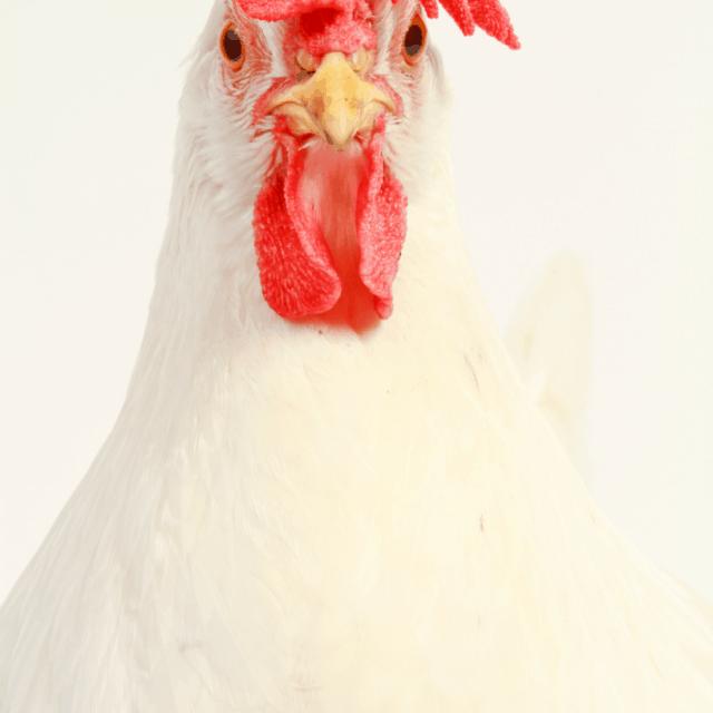 Top Ten Heat Tolerant Chicken Breeds