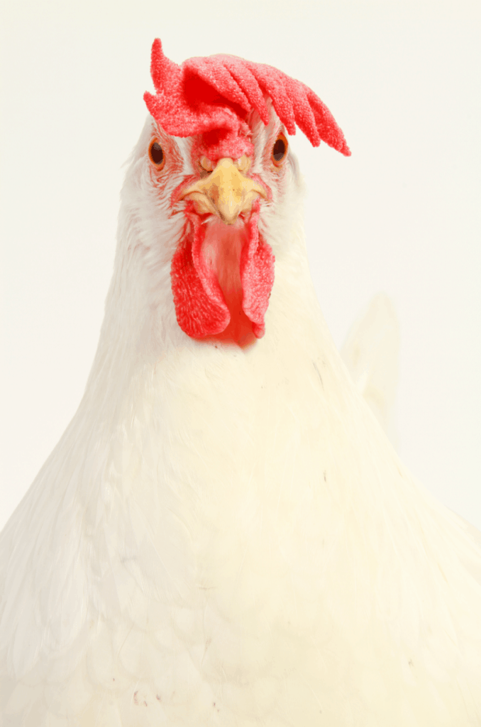 One of the toughest choices you'll make as a chicken keeper is what breeds to add to your flock. The most important factor? Whether they're well suited to your climate! Find out our favorite heat tolerant chicken breeds on this list!