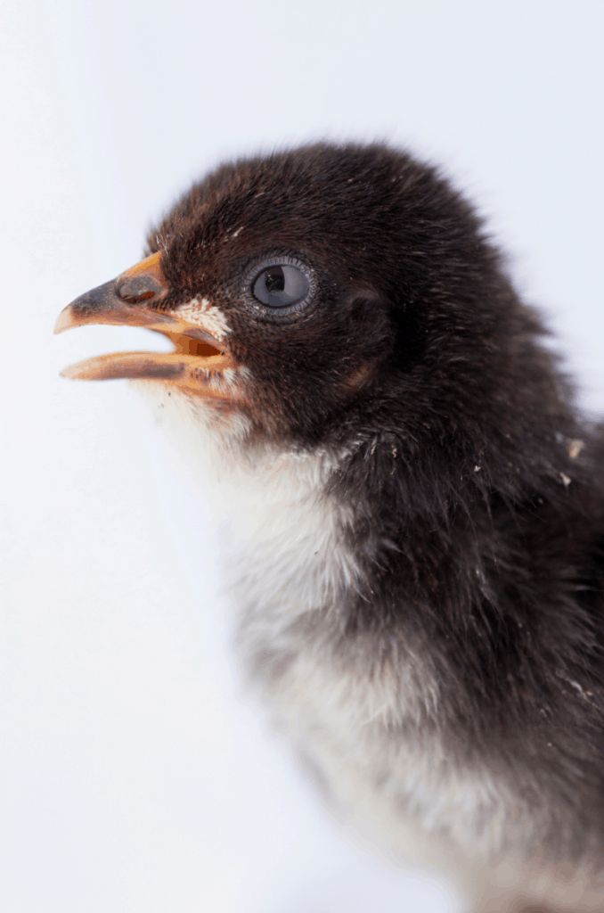 A baby chick with its beak open
