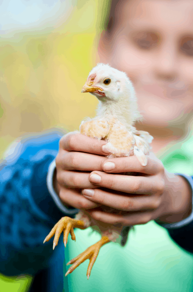 A boy holding a baby chick