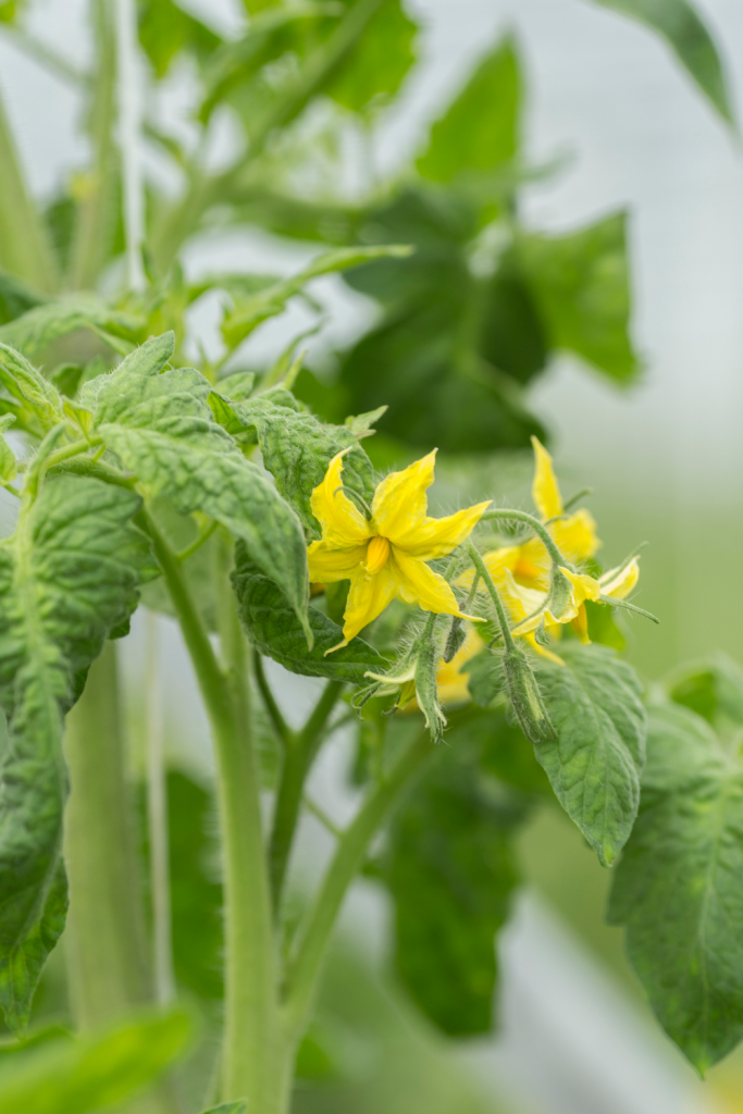 A tomato plant with flowers.