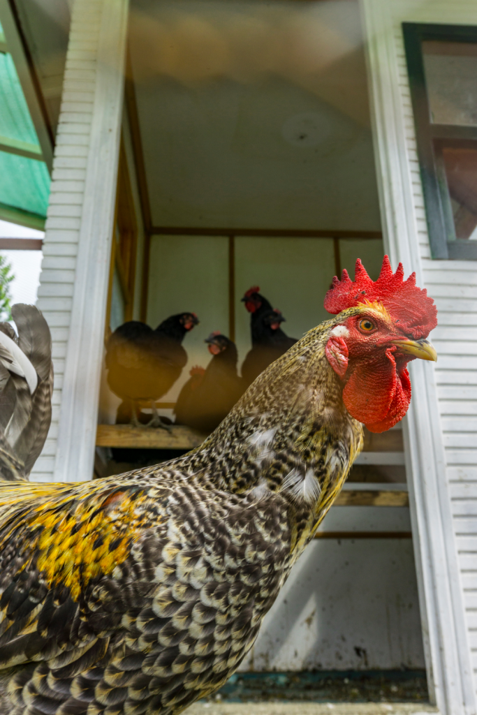A rooster in front of a chicken coop full of hens