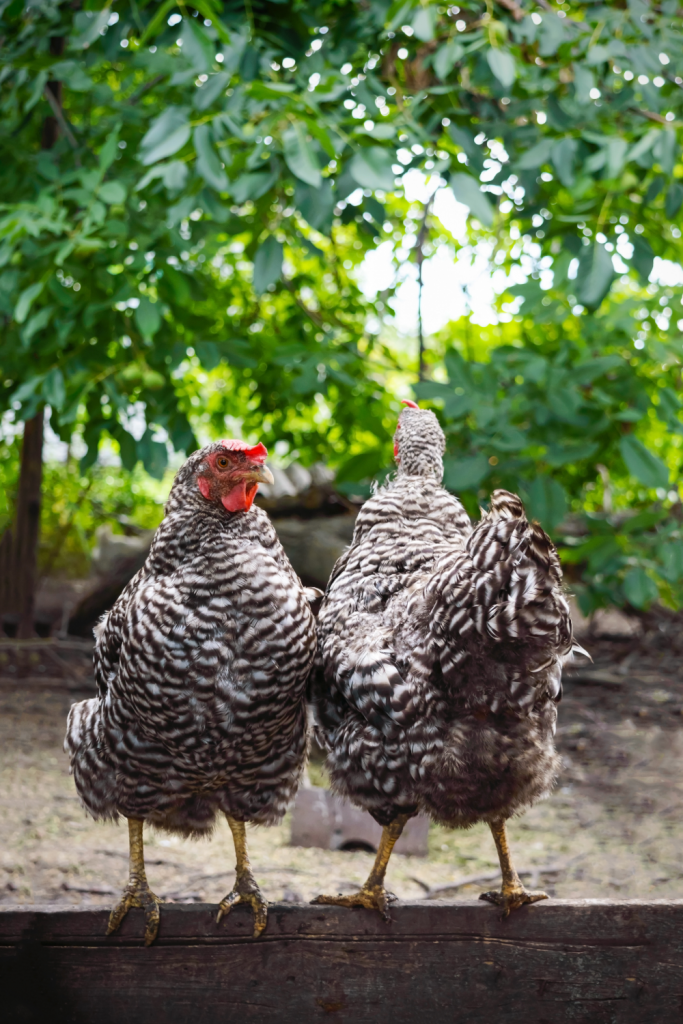 Two barred rock chickens standing outside.