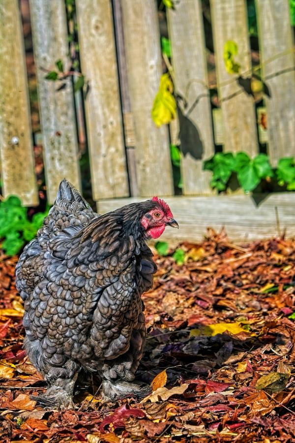 A Cochin chicken.