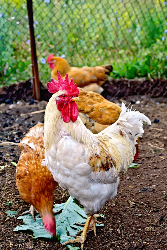 Chickens eating greens outside