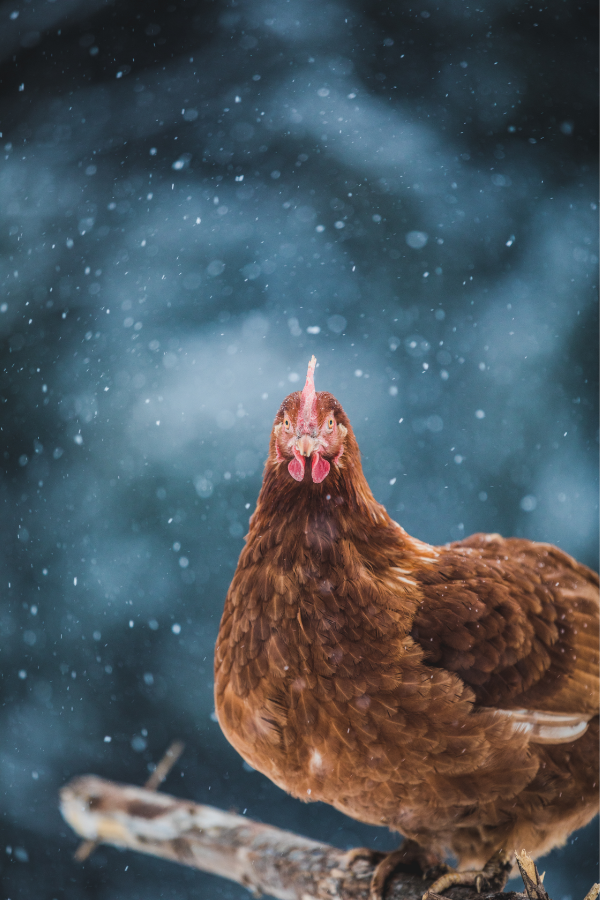 A Rhode Island Red chicken with snow falling.