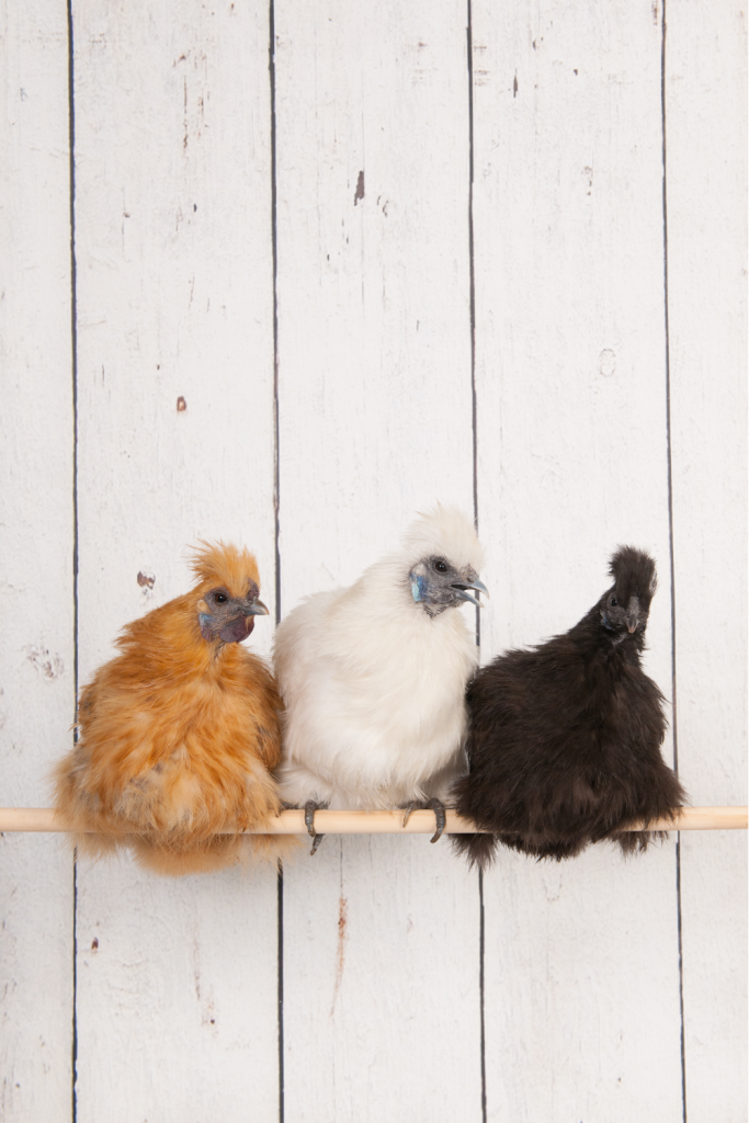 A group of silkie chickens on a roost