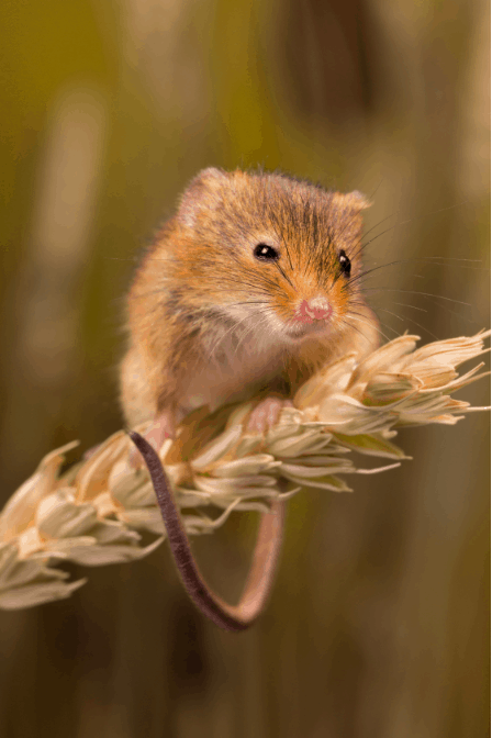 A mouse sitting on a piece of wheat.