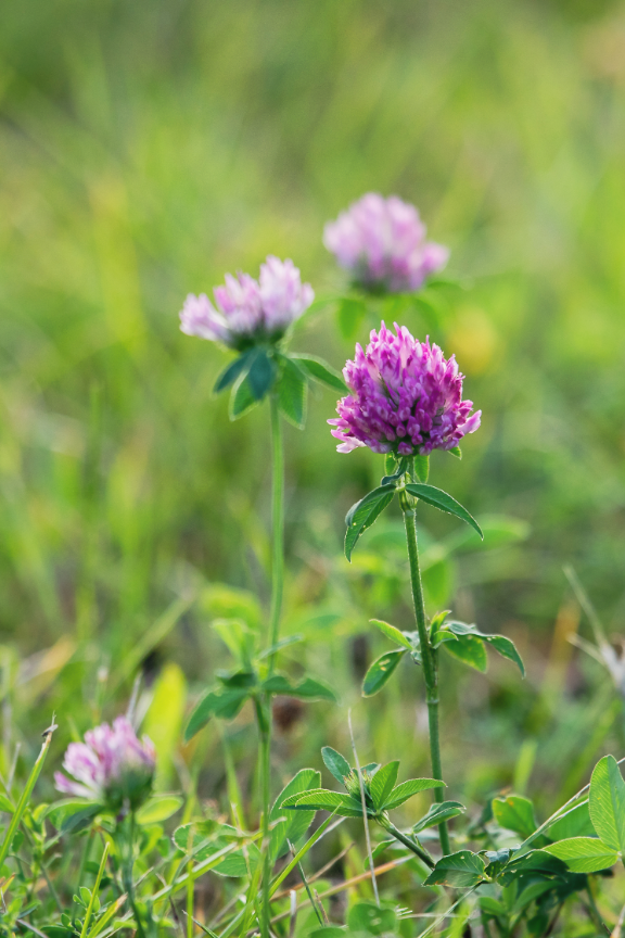 Clover growing outside.