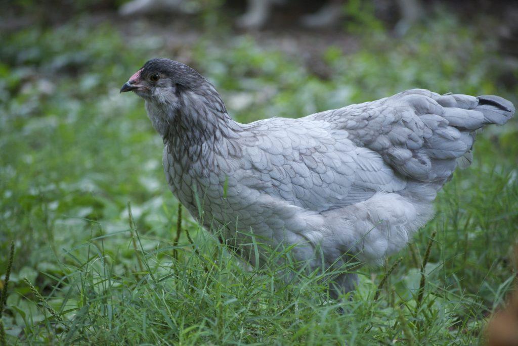 An Easter Egger chicken.