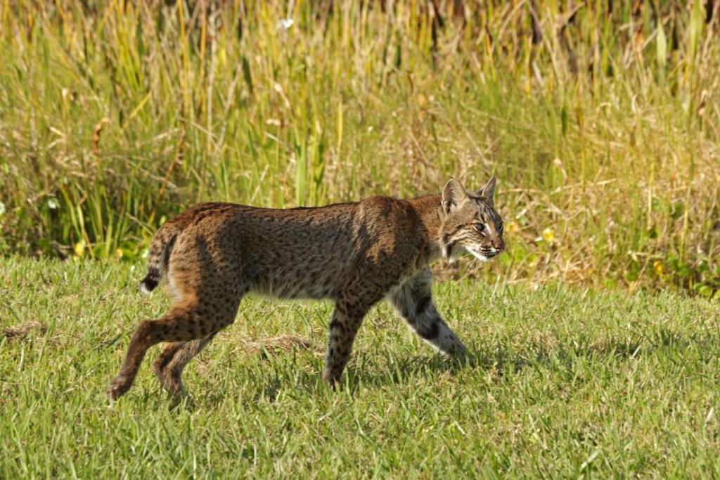 A bobcat.