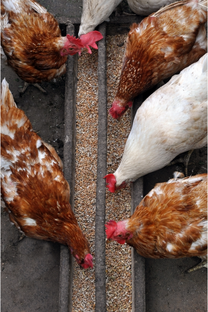 Chickens eating scratch grain