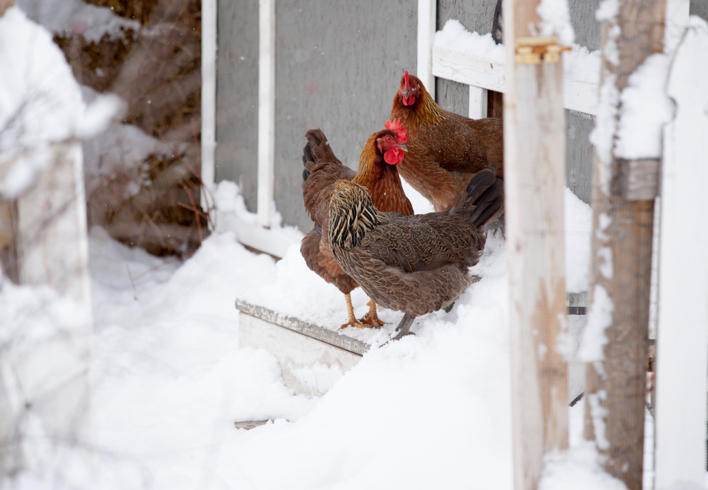 Chickens outside the coop in snow