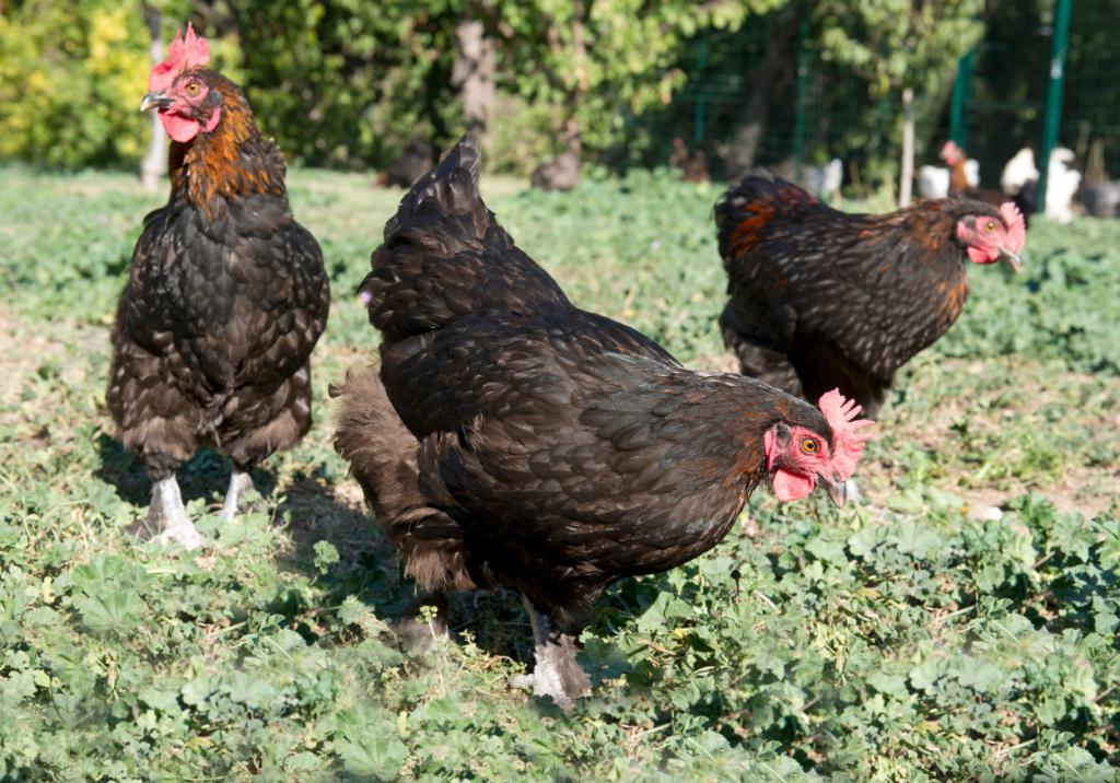 Black copper marans chickens.