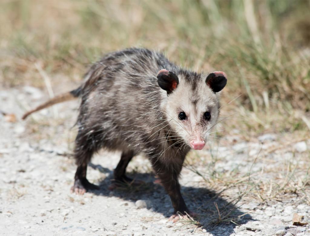A possum.
