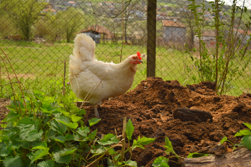 A chicken in a compost pile.